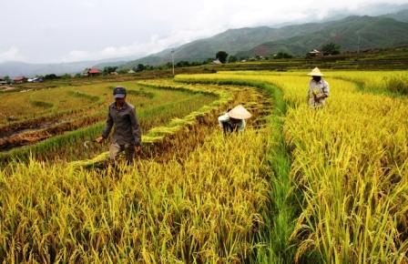 Việc chỉ đạo đưa các giống mới vào sản xuất góp phần  nâng cao năng suất, sản lượng lúa