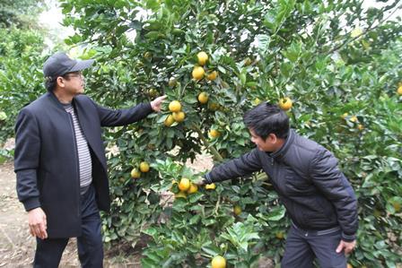 Thăm vườn cam tại xã Bản Giang, huyện Tam Đường