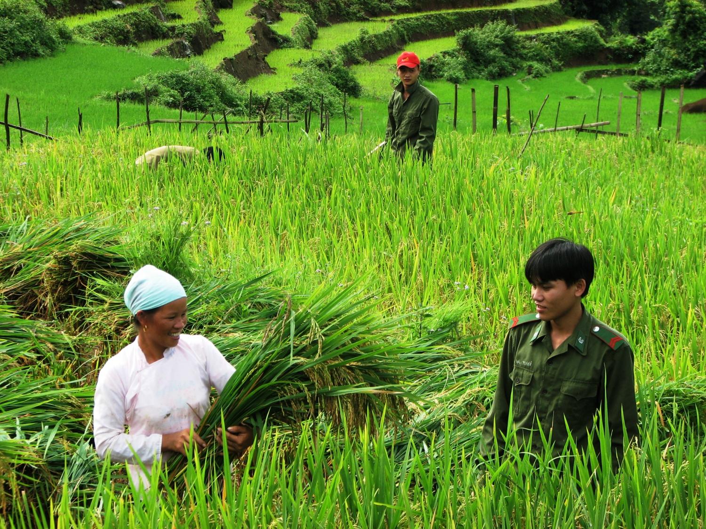 Bộ đội Biên phòng Lai Châu, giúp đồng bào thu hoạch lúa