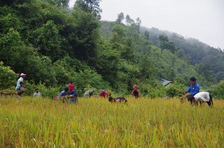Cán bộ, chiến sỹ đồn Biên phòng Pa Ủ giúp nhân dân thu hoạch lúa mùa